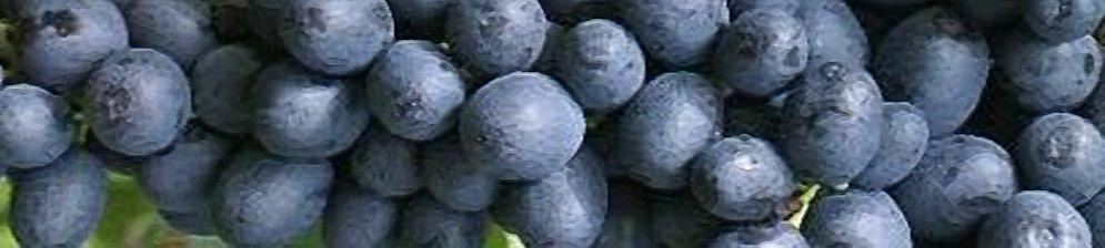Плоды сорта винограда Аттика вблизи