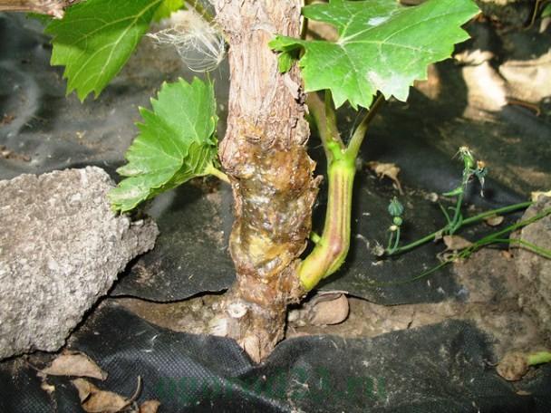 Прикорневая часть виноградной лозы с признаками заражения бактериальным раком