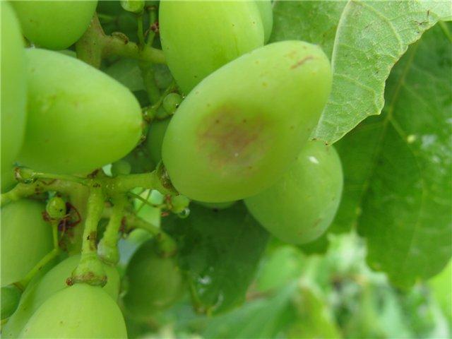 Зеленый плод винограда с вдавленным коричневатым пятнышком, признак пятнистости бактериального происхождения