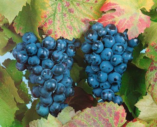 Две спелые кисти винограда сорта Башкирский и осенние листья