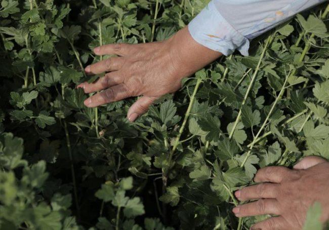 Ветки крыжовника с минимальным количеством шипов, отсутствие колючек облегчает сбор урожая