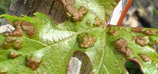 Больной лист винограда вблизи грибок