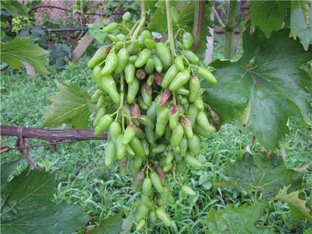 Кисть винограда с пятнистыми ягодами, пораженными антракнозом