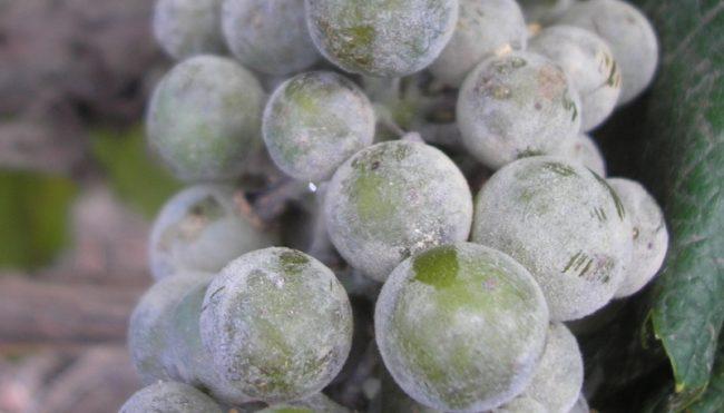 Кисть винограда с покрытыми белым налетом ягодами, поражение плодов мучнистой росой