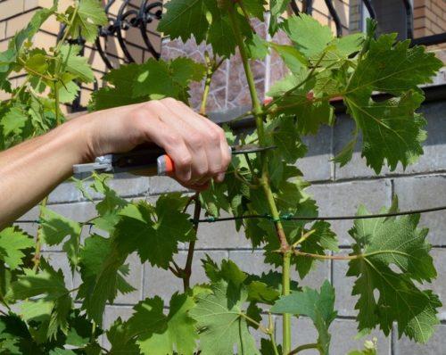 Обрезка основного побега винограда для торможения ростовых процессов