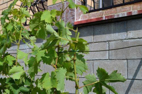 Обрезанный побег после проведения чеканки, виноградная лоза на шпалере
