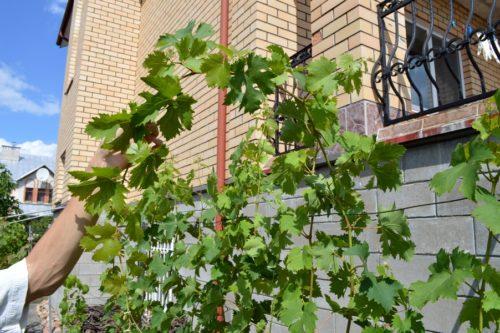 Выбор зеленого побега виноградной лозы для чеканки или обрезки основных стеблей