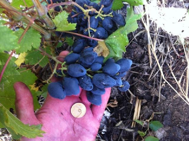 Рука человека держит монету и гроздь черного винограда сорта Ромбик