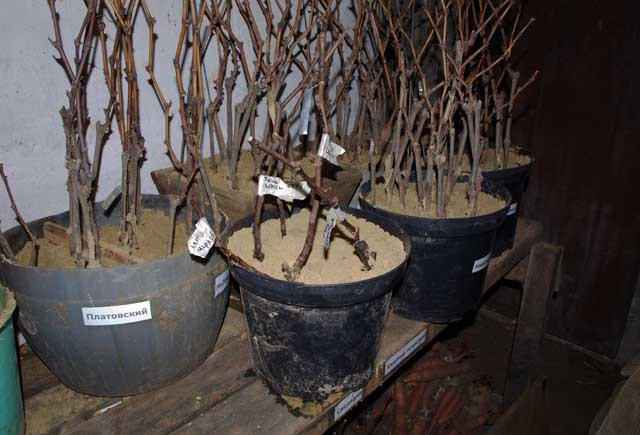 Черенки винограда в горшках с песком на хранении в прохладном подвале