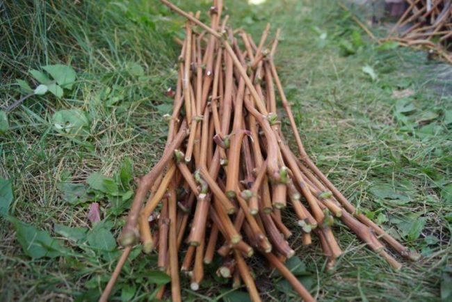 Кучка виноградных черенков для осеннего размножения вегетативным способом
