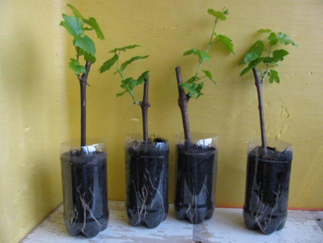 Четыре обрезанные пластиковые бутылки с землей и проросшие черенки винограда в домашних условиях