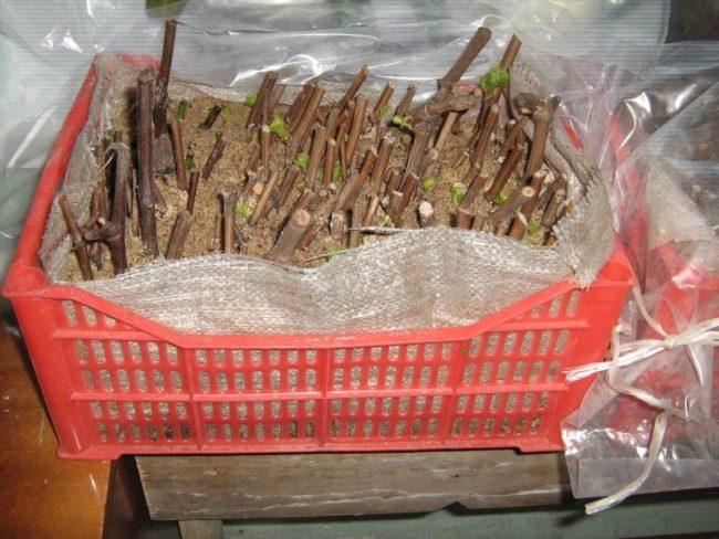 Пластиковый ящик с песком и черенки винограда в вертикальном положении