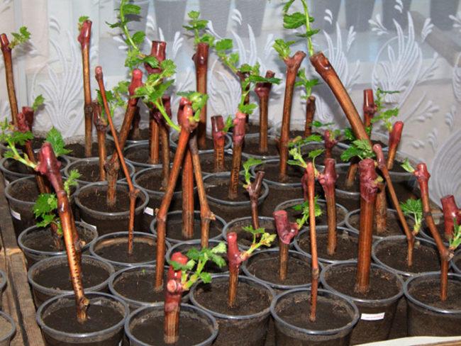 Виноградные черенки в пластиковых стаканчиках с землей и молодые побеги из верхних почек