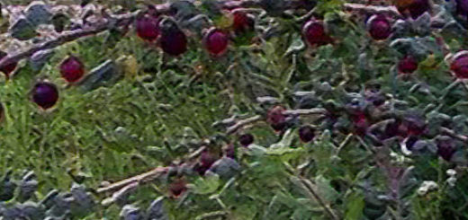Спелые и не дозревшие плоды крыжовника Чёрный Негус