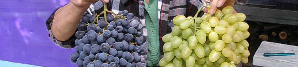 Садовод держит в руках кисти винограда сорта Черный восторг и Аркадия