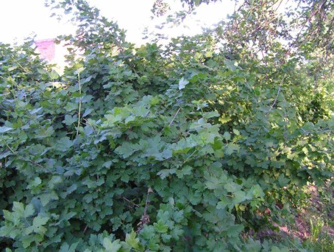 Рослый куст взрослого крыжовника сорта Черный Негус с длинными прочными стеблями