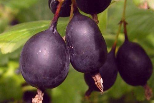 Спелые ягоды крыжовника Черный Негус сладко-кислого вкуса