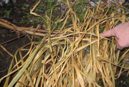 Чесночная ботва в роли утеплителя и защитного средства от мышей при укрытии винограда на зиму
