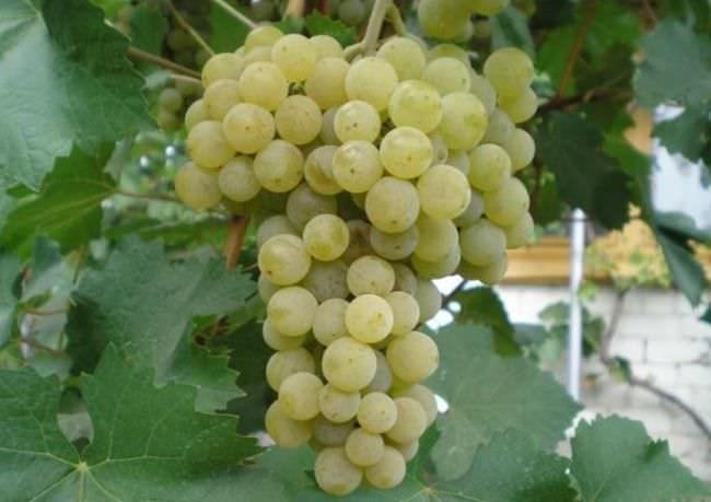 Крупная гроздь винограда Магарача Цитронный с ягодами желто-золотистого оттенка