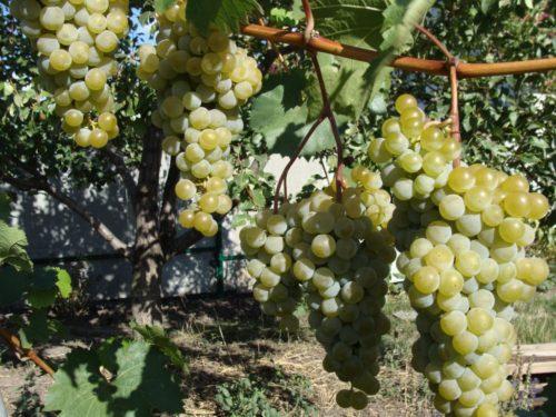 Виноградная лоза сорта Магарача Цитронный, выращиваемого для производства винных напитков