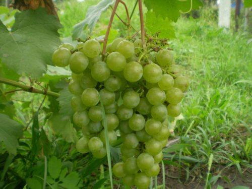 Две грозди винограда технического сорта Магарача Цитронный на фоне зеленой травы