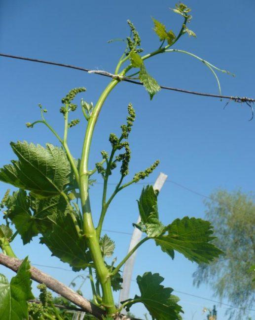 Зеленый побег винограда с кистями соцветий и проволока шпалеры