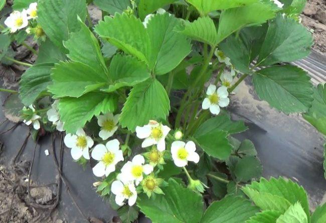 Цветки и листья клубники сорта Хоней, выращиваемой на валах под черным агроволокном