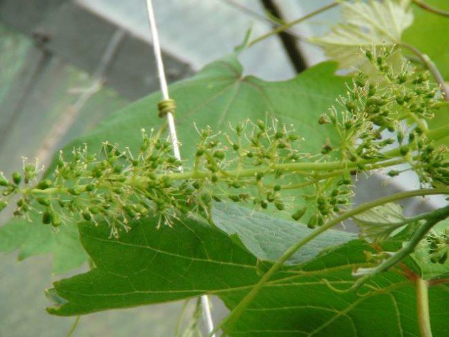 Метелка винограда после успешного опыления, видны завязи плодов