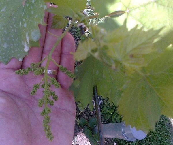 Кисть с соцветиями на ладони садовода от молодой виноградной лозы
