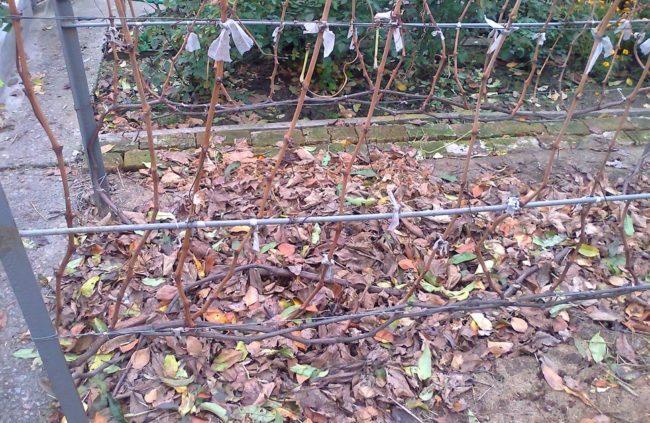Побеги винограда, выращенные на одном кусте и подлежащие обрезке