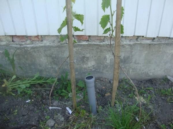 Простая система дренажного полива винограда из обрезка канализационной трубы