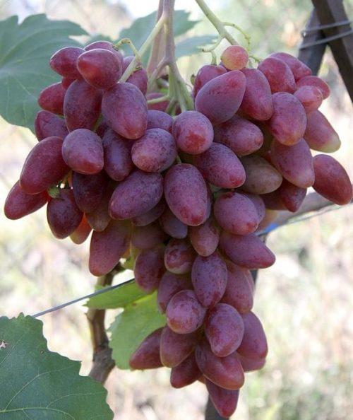 Крупная кисть винограда Дубовский розовый с плодами насыщенно розово-красного цвета