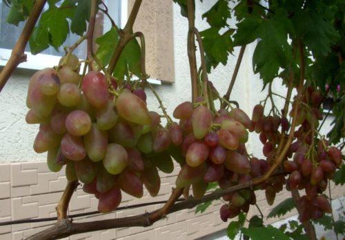 Виноградная лоза с гроздьями вытянутых ягод и стена жилого дома