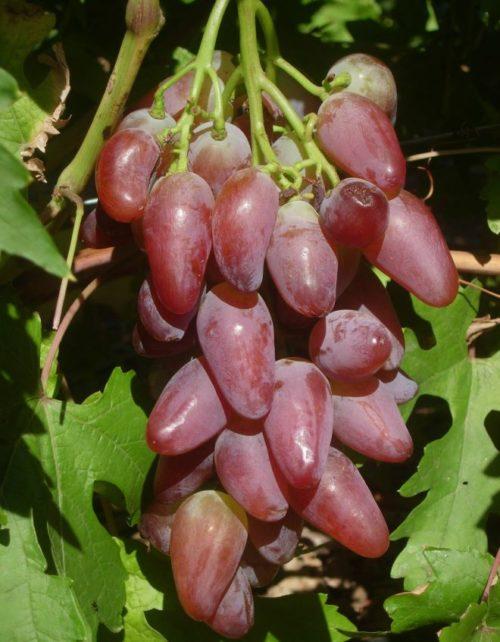 Гроздь винограда гибридного сорта Дубовский розовый любительской селекции