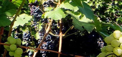 Спелые плоды двух сортов винограда зеленый и темный