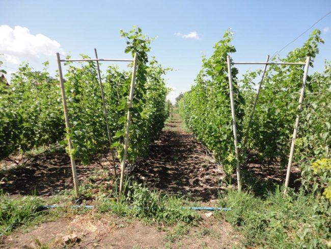 Коммерческий виноградник с двухплосткостными шпалерами V-образной формы