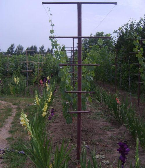 Шпалера V-образной формы и молодые стебли винограда на проволоке