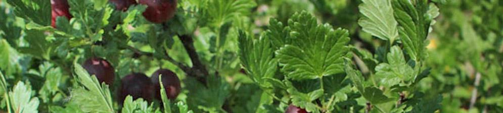Созревающие на кусте плоды крыжовника сорта Финик