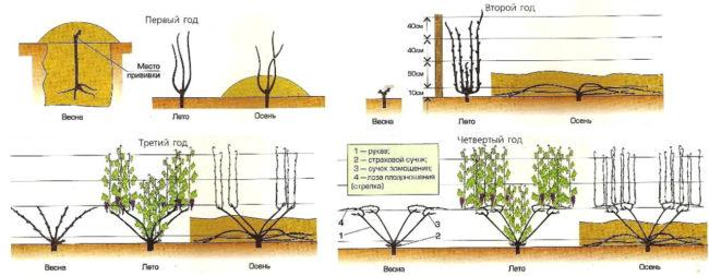 Схема формировки куста винограда веером в первые два года жизни культуры