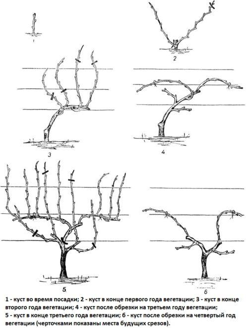 Схема ежегодной обрезки виноградного куста со штамбом