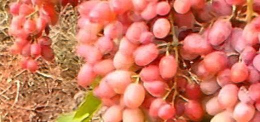 Спелая гроздь сорта винограда Гелиос