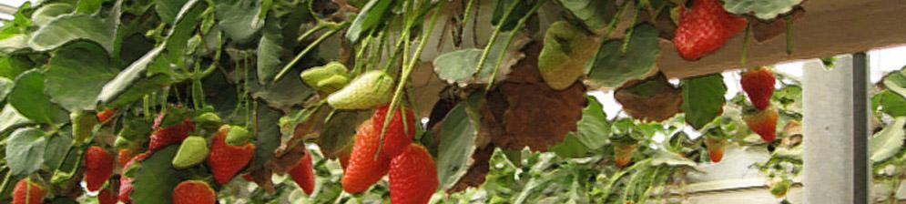 Спелые плоды клубники по методу гидропоники