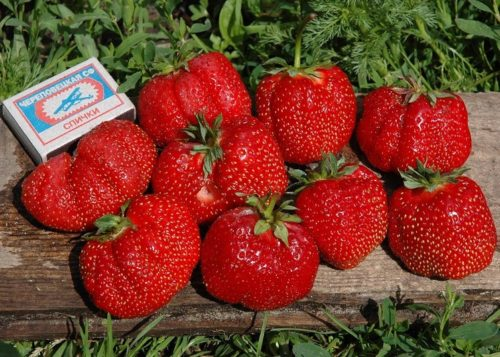 Размеры спелых плодов клубники Гигантелла Максима превышают габариты спичечного коробка
