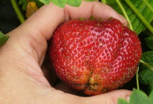 Крупная ягода клубники сорта Гигантелла Максима от голландских селекционеров