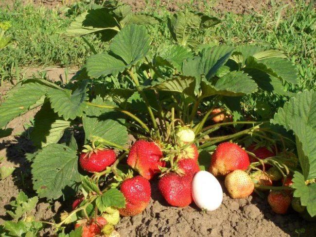 Высокий куст клубники Гигантелла Максима, спелые крупные ягода и яйцо
