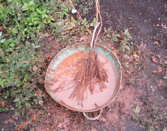 Тазик с глиняной болтушкой, замачивание корней саженцев винограда перед посадкой