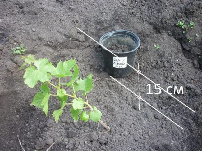 Правильная глубина посадки саженца винограда и пластиковый контейнер с грунтом