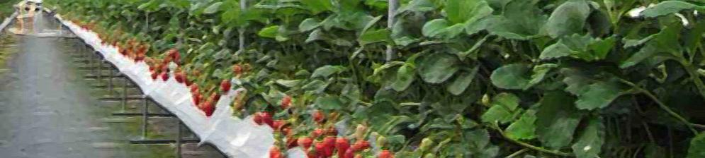 Кусты со спелой клубникой по голландской технологии