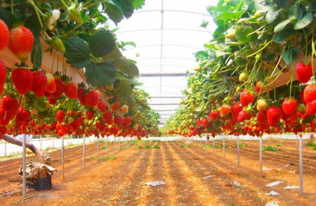 Выращивание клубники по голландской технологии в тепличных условиях