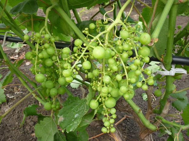 Кисть винограда эталонного сорта Рошфор с мелкими, как горох, ягодами